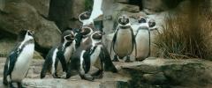 Пингвин нашего времени